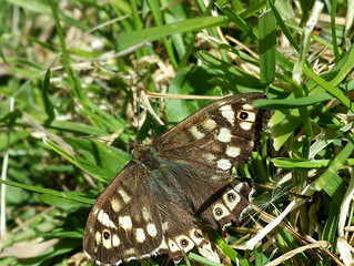 The First Butterfly! A Speckled Wood