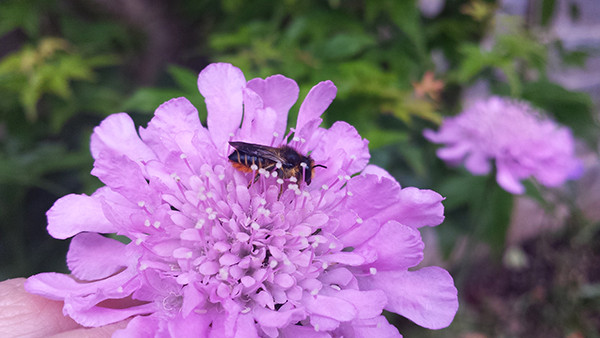 Sarah Rees Garden blog pic 79 scabious with bee.jpg