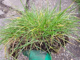Grassy 'Hair Transplant'