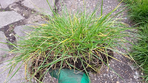 Sarah Rees Garden Blog Pic 60 transplanting grass.jpg