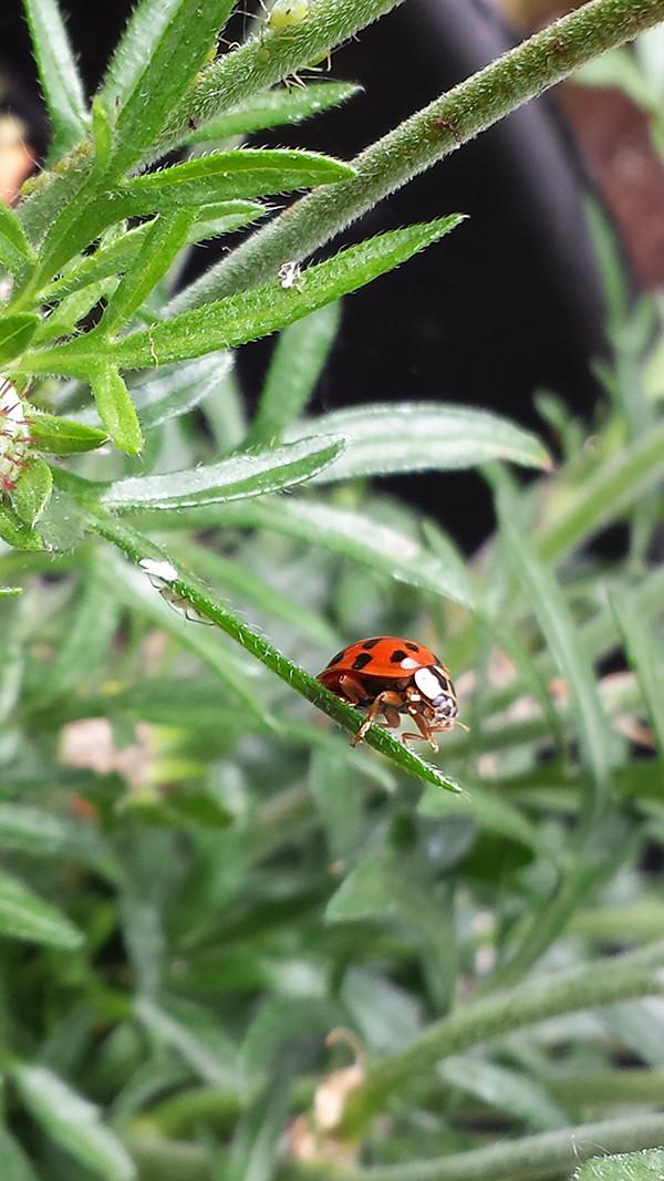 Sarah Rees Garden blog pic 73 ladybird.jpg