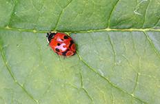 Sarah Rees ladybird harlequin pattern.jpg