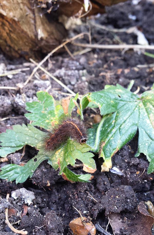Sarah Rees Garden Blog Pic 264 hungry caterpillar.jpg