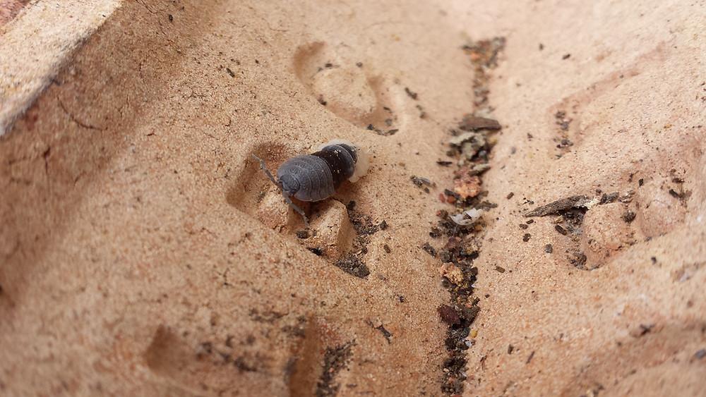 Sarah Rees Garden Blog Pic 127 woodlouse shedding skin.jpg
