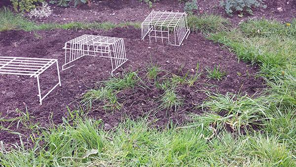 Sarah Rees Garden Blog Pic 62 transplanted grass.jpg