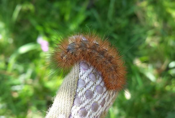 Sarah Rees Garden Blog Pic 146 caterpillar.jpg