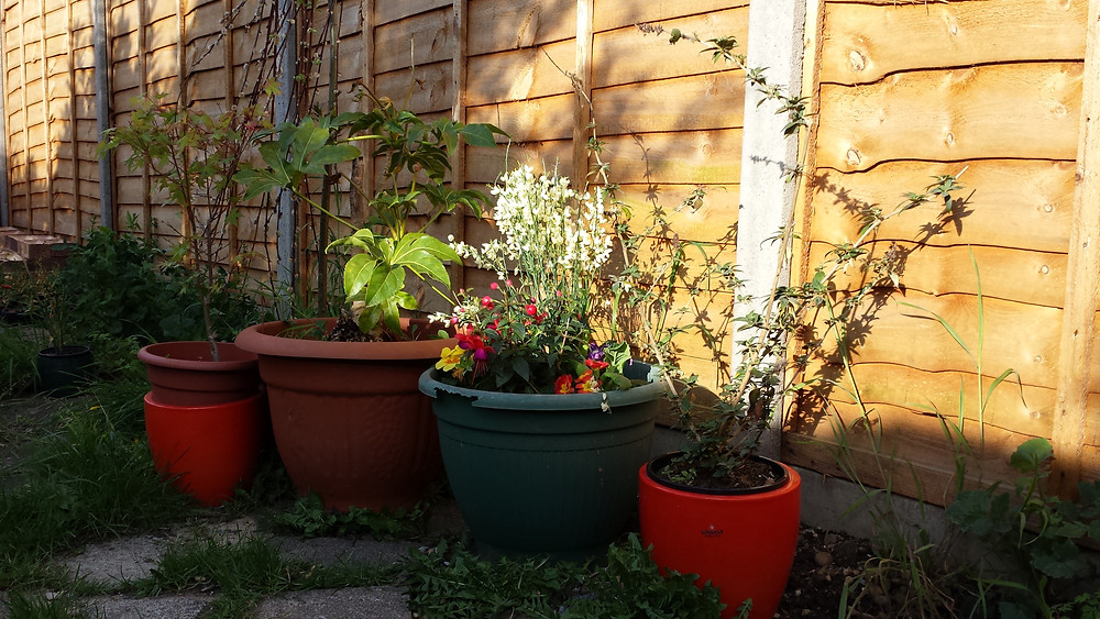 Sarah Rees Garden Blog Pic 34 pots at sunset.jpg