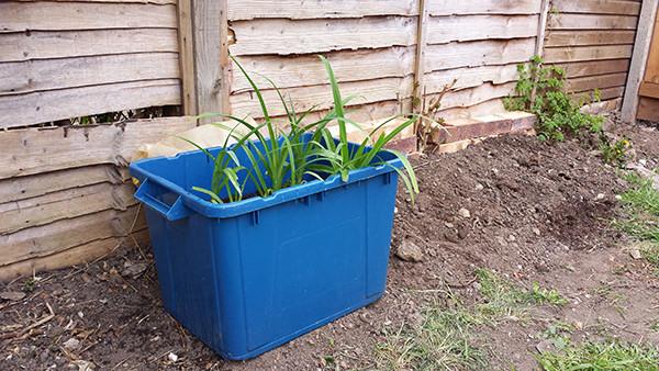 Sarah Rees Garden Blog Pic 54 lili planter.jpg