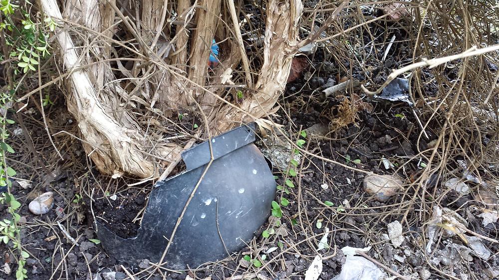 Sarah Rees Garden Blog Pic 18 Pot-bound bush.jpg
