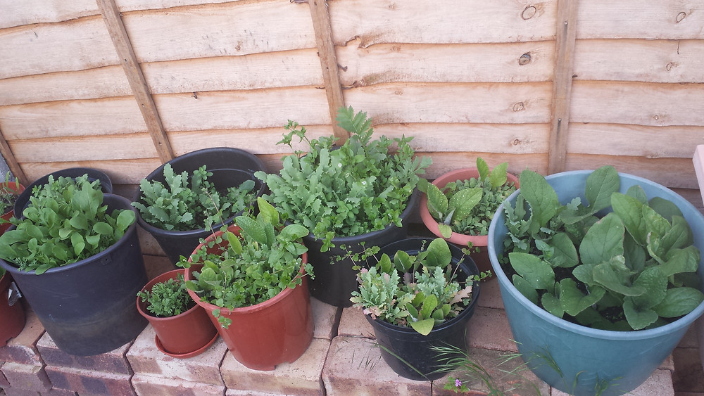 Sarah Rees Garden blog pic 87 seedlings.jpg