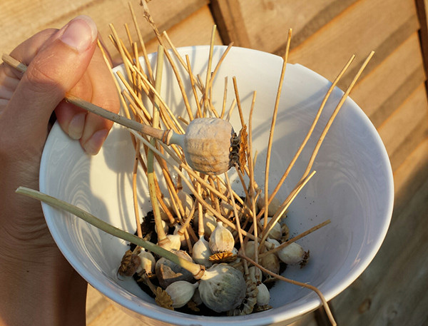 Sarah Rees Garden Blog Pic 245a poppy seeds.jpg
