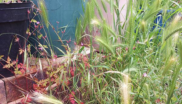 Sarah Rees Garden Blog Pic 114 grasses.jpg