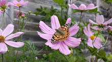 Cosmos and Painted Lady Butterfly