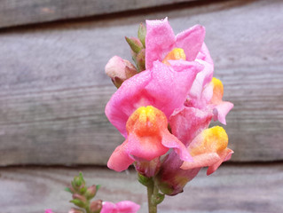 Plucky Snapdragons!