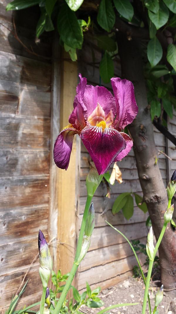 Sarah Rees Garden blog pic 69 iris.jpg