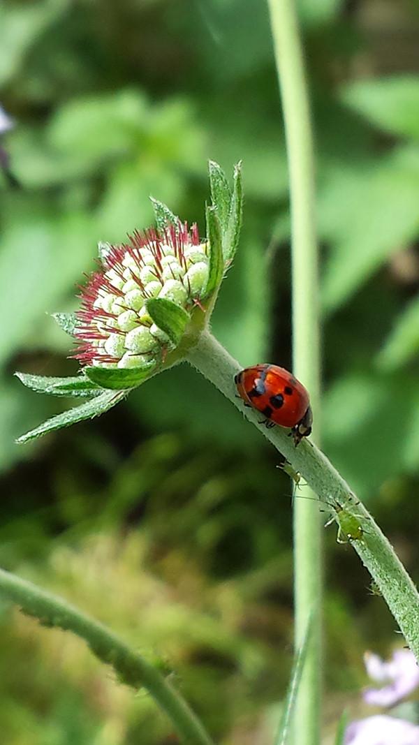 Sarah Rees Garden blog pic 76 ladybird.jpg
