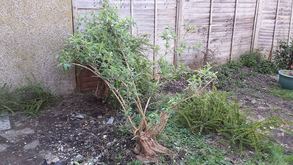 Sarah Rees Garden Blog Pic 19 cutting back bushes.jpg
