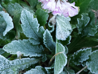 The frosty 'pincushion plant'