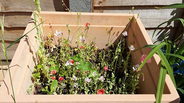 Sarah Rees Garden Blog Pic 141 miniature poppies.jpg