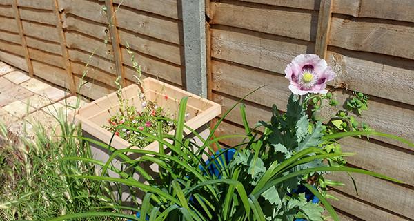 Sarah Rees Garden Blog Pic 143 giant pink poppy.jpg