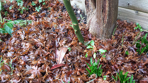 Sarah Rees Garden Blog Pic 340 fallen leaves and shoots.jpg