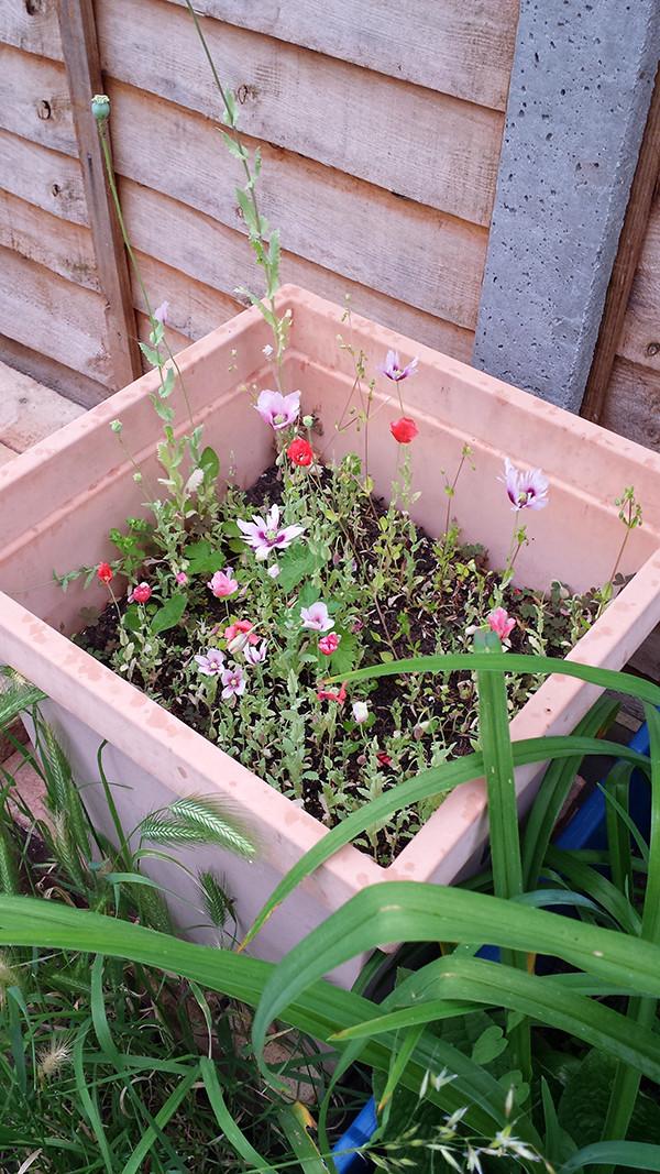 Sarah Rees Garden Blog Pic 140 mini poppies.jpg
