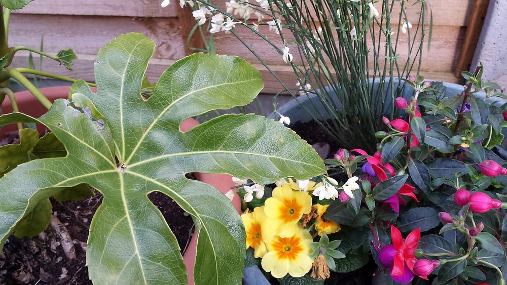 Sarah Rees Garden Blog Pic 35 fushias broom and primroses.jpg