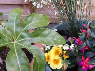 Primroses, Broom and Fuchsia
