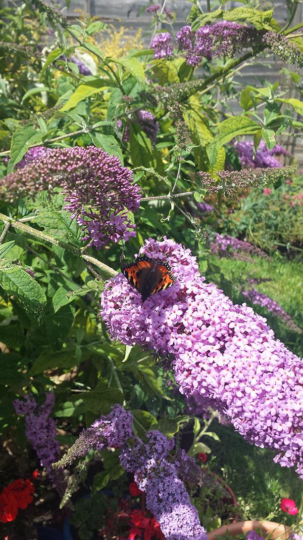 Sarah Rees Garden Blog Pic 252 small tortoiseshell butterfly.jpg