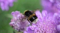 Bumblebee on scabious