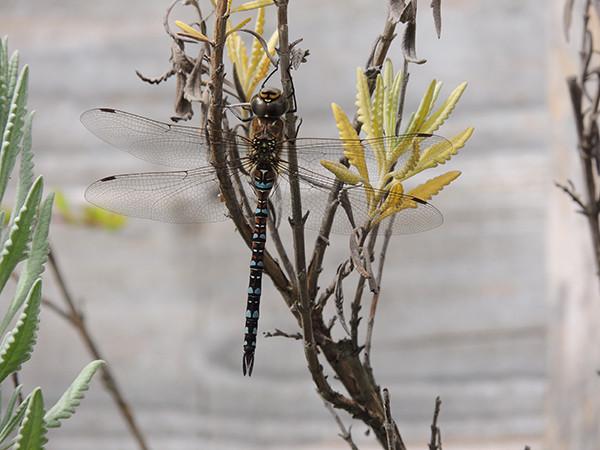 Sarah Rees Garden Blog Pic 275 hawker dragonfly.JPG