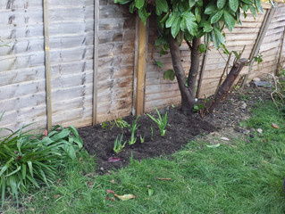 The iris and lilies are planted!