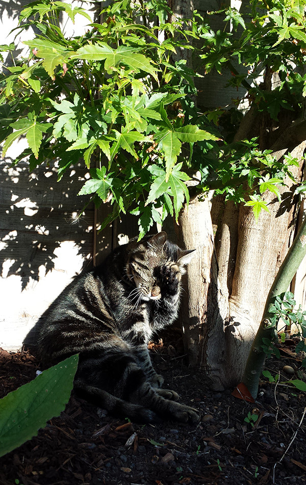 Sarah Rees Garden Blog Pic 271 cat in bright sunshine.jpg