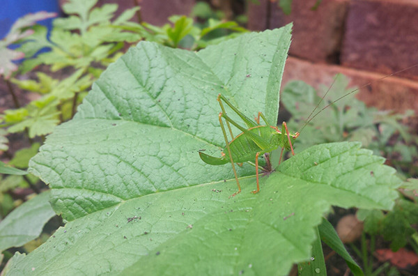 Sarah Rees Garden Blog Pic 229 bush cricket.jpg