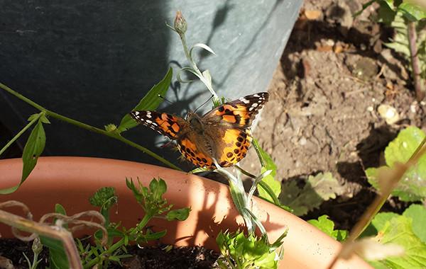Sarah Rees Garden Blog Pic 178 butterfly.jpg