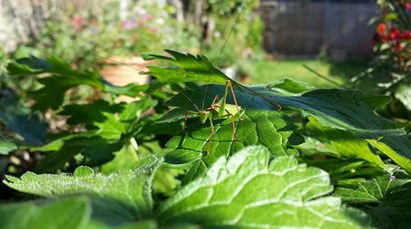 Sarah Rees Garden Blog pic 251 bush cricket.jpg