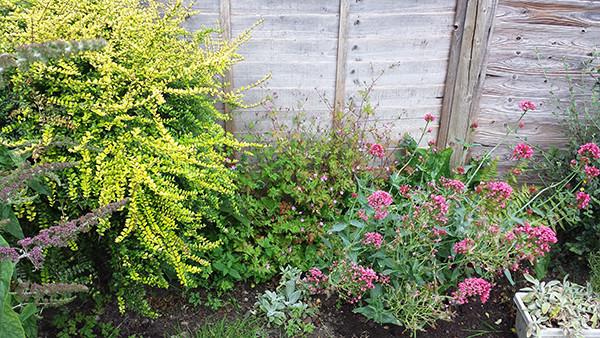 Sarah Rees Garden Blog Pic 105  Red Valerian.jpg