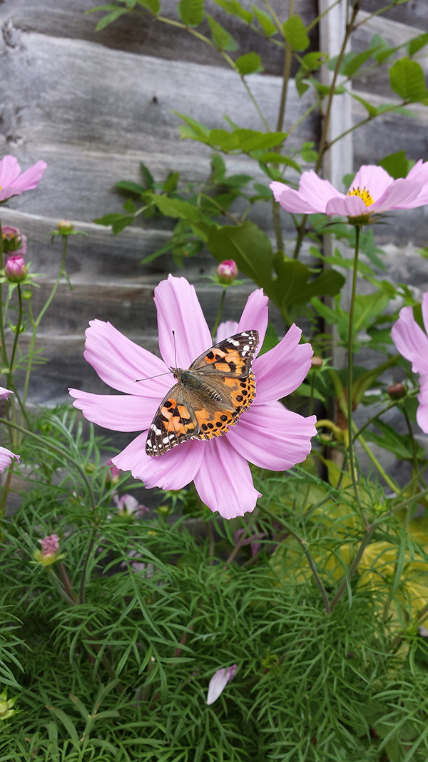 Sarah Rees Garden Blog Pic 196 Painted lady.jpg