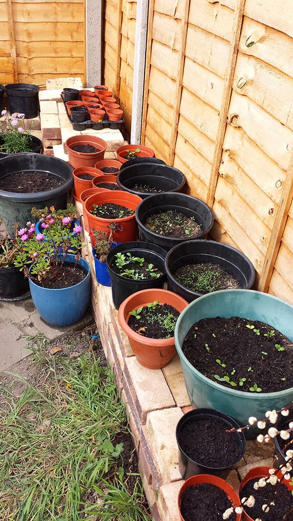 Sarah Rees Garden Blog Pic 56 seedlings.jpg