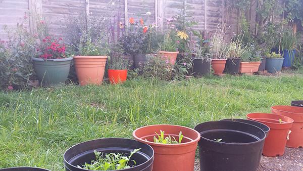 Sarah Rees Garden Blog Pic 189 second wave of seedlings.jpg