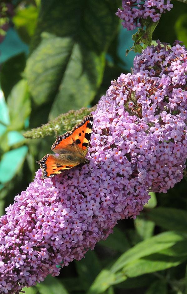 Sarah Rees Garden Blog Pic 153 Tortoiseshell Butterfly.JPG