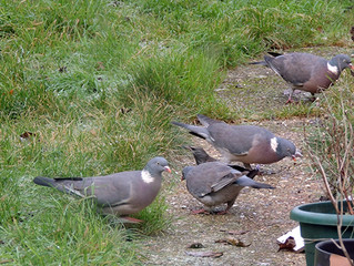 Even MORE wood pigeons