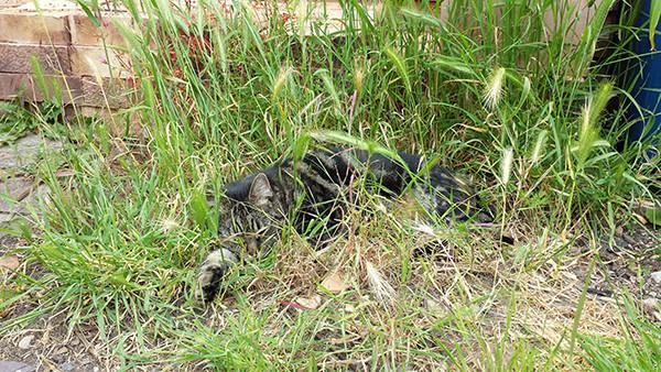 Sarah Rees Garden Blog Pic 126 cat nap in grass.jpg