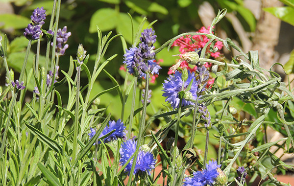 Sarah Rees Garden Blog Pic 185b cornflowers and lavender.JPG