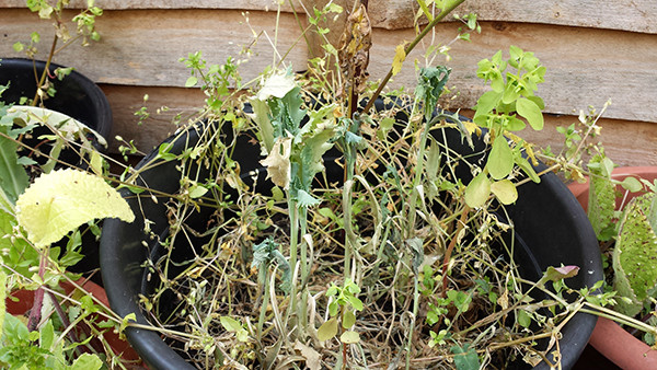 Sarah Rees Garden Blog Pic 116 partched wildflowers.jpg