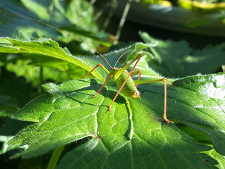 A Bush Cricket's Bottom