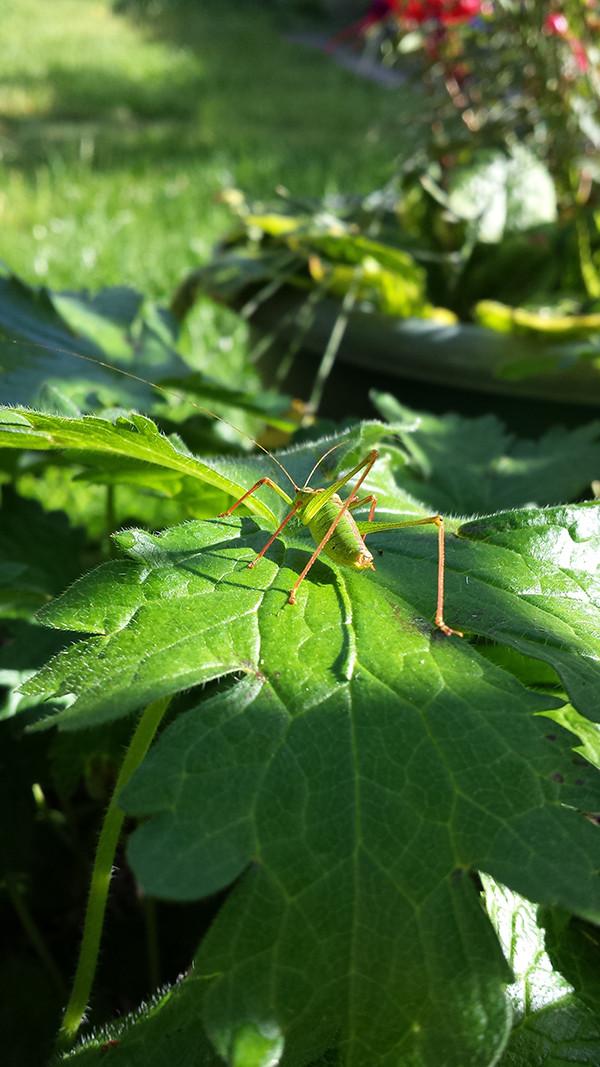 Sarah Rees Garden Blog Pic 273 speckled bush cricket bottom.jpg