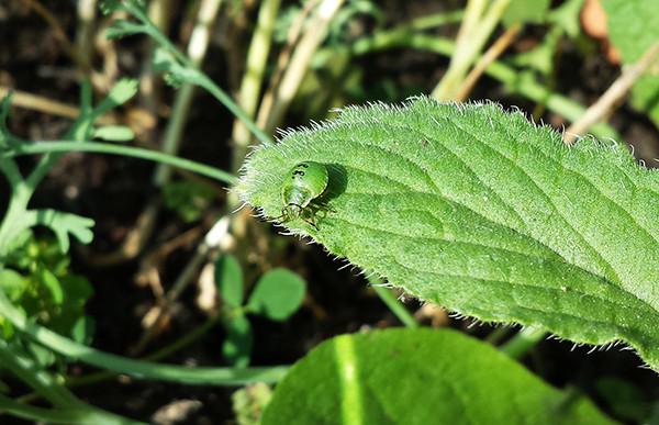 Sarah Rees Garden Blog Pic 237 green bug.jpg