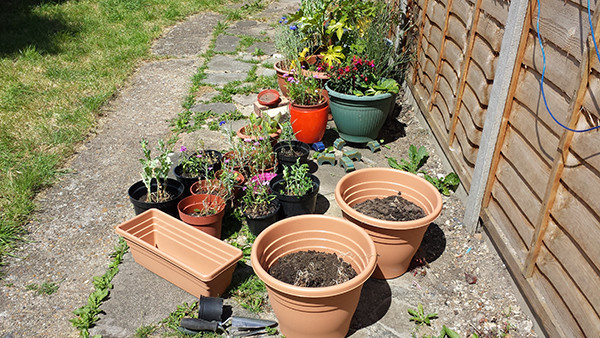 Sarah Rees Garden Blog Pic 144 salvaging plants.jpg