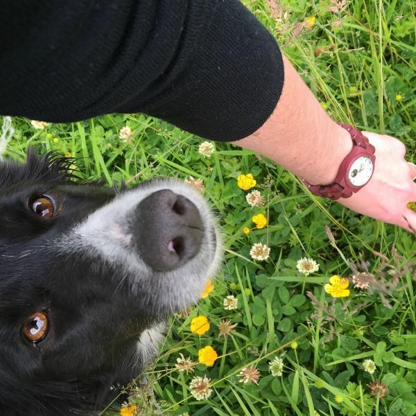jord wrist watch cora series with border collie in grass